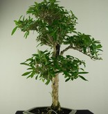 Bonsai Snow Rose, Serissa foetida, no. 7168
