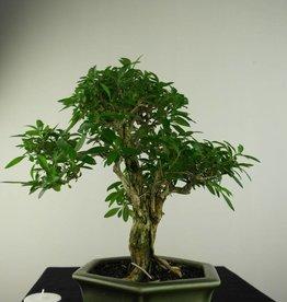 Bonsai Snow Rose, Serissa foetida, no. 7169