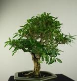 Bonsai Junischnee, Serissa foetida, nr. 7169