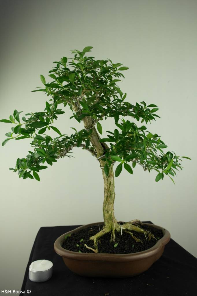 Bonsai Junischnee, Serissa foetida, nr. 7170