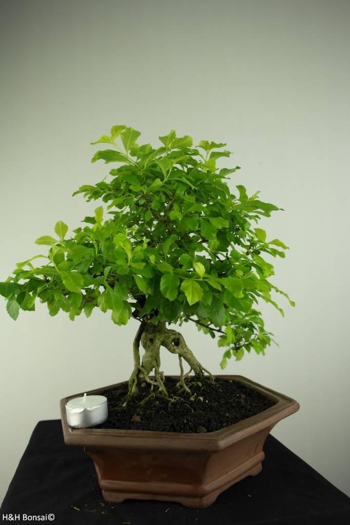 Bonsai Taubenbeere, Duranta, nr. 7171