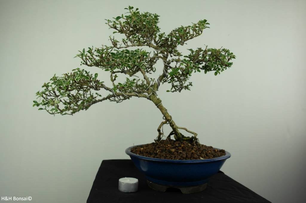 Bonsai Snow Rose variegata, no. 7174