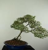 Bonsai Junischnee variegata, Serissa variegata, nr. 7174