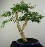 Bonsai Junischnee, Serissa foetida, nr. 7177
