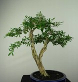 Bonsai Snow Rose, Serissa foetida, no. 7177