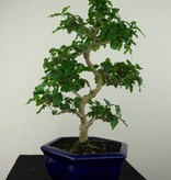 Bonsai Ligustrum sinense, no. 7183