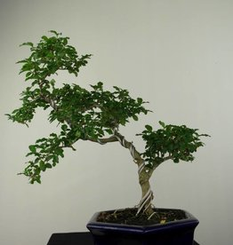 Bonsai Ligustrum sinense, no. 7184
