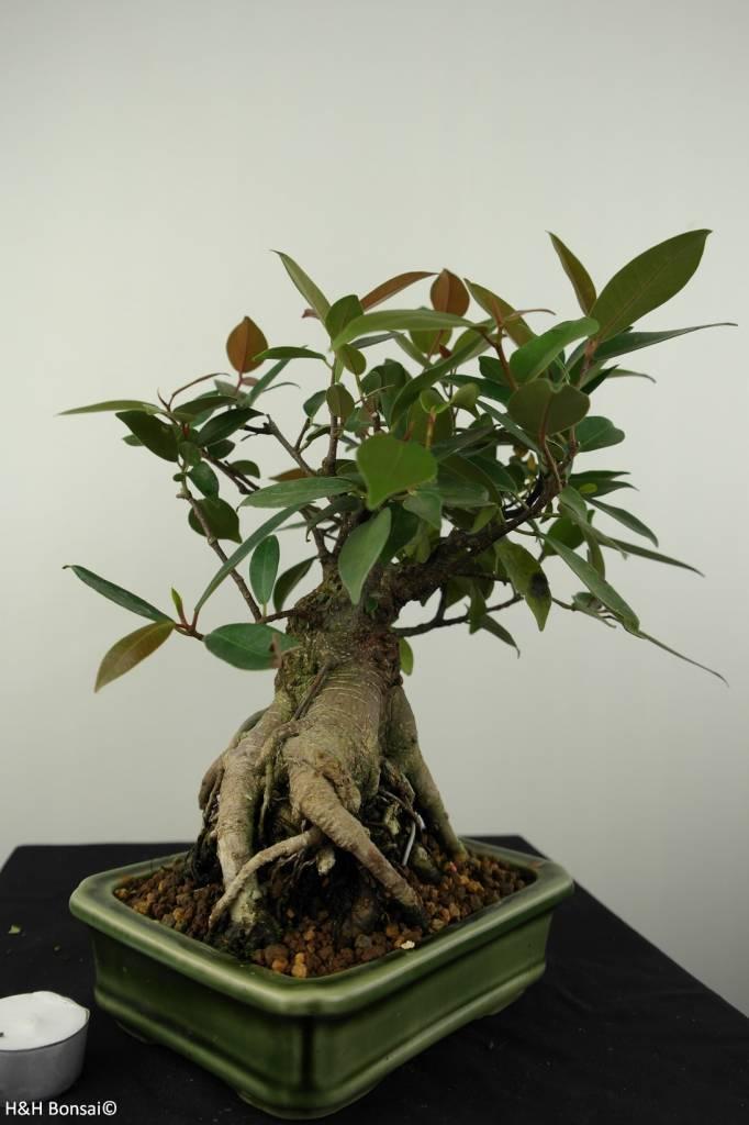 Bonsai Chin. Feigenbaum, Ficus sp., nr. 7186