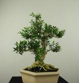 Bonsai Buchsbaum, Buxus harlandii, nr. 7191