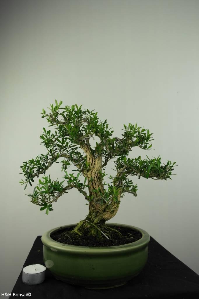 Bonsai Boxwood, Buxus harlandii, no. 7192
