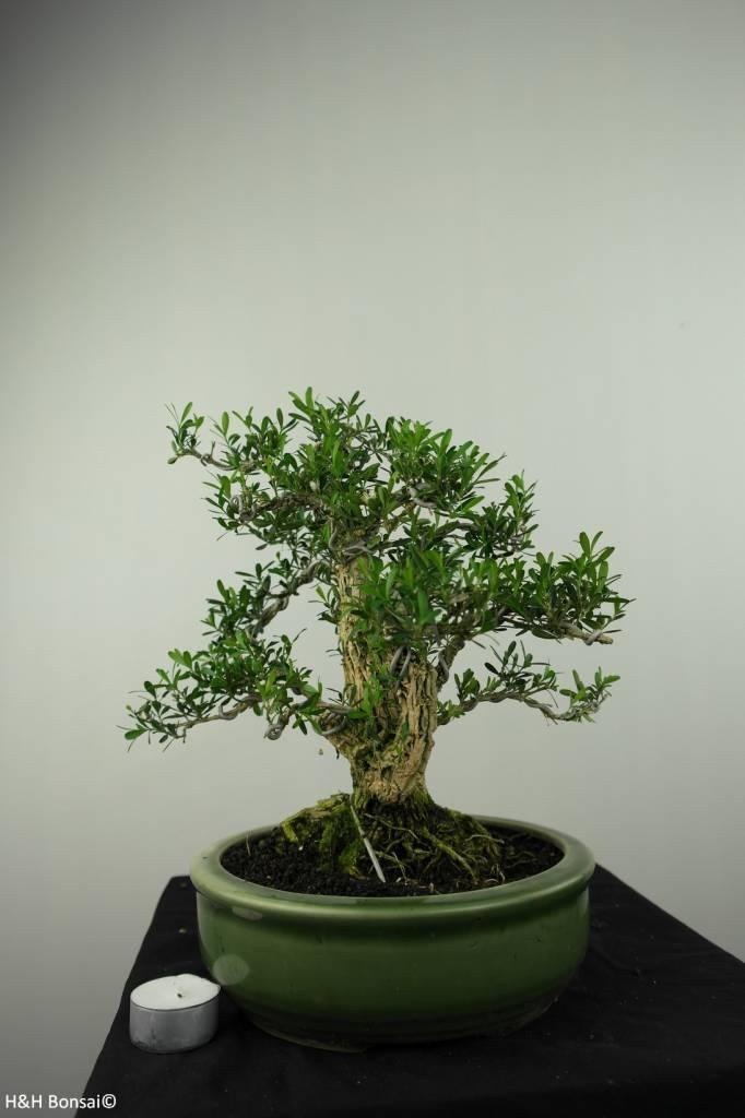 Bonsai Buchsbaum, Buxus harlandii, nr. 7192