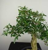 Bonsai Snow Rose, Serissa foetida, no. 7196