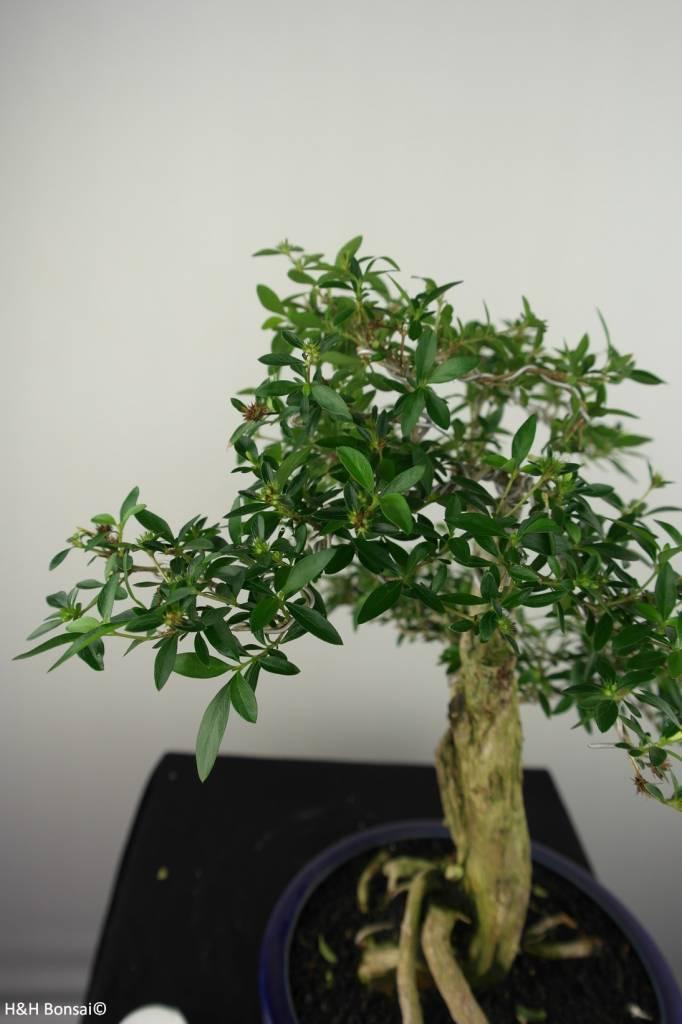 Bonsai Junischnee, Serissa foetida, nr. 7196