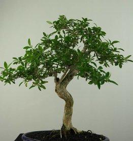 Bonsai Snow Rose, Serissa foetida, no. 7198