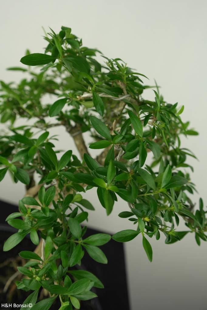 Bonsai Junischnee, Serissa foetida, nr. 7198