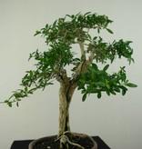 Bonsai Snow Rose, Serissa foetida, no. 7199