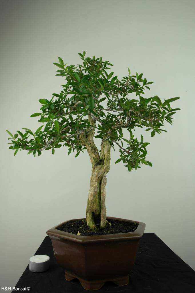 Bonsai Junischnee, Serissa foetida, nr. 7200