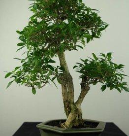 Bonsai Junischnee, Serissa foetida, nr. 7207
