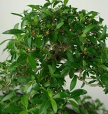 Bonsai Snow Rose, Serissa foetida, no. 7207