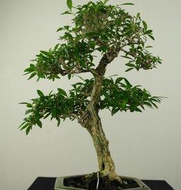 Bonsai Junischnee, Serissa foetida, nr. 7208