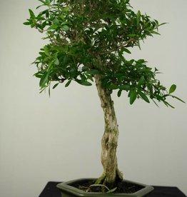 Bonsai Junischnee, Serissa foetida, nr. 7210