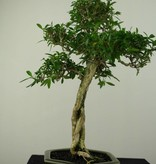 Bonsai Snow Rose, Serissa foetida, no. 7210