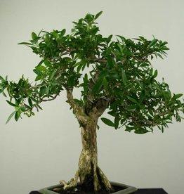 Bonsai Junischnee, Serissa foetida, nr. 7212