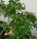 Bonsai Snow Rose, Serissa foetida, no. 7212