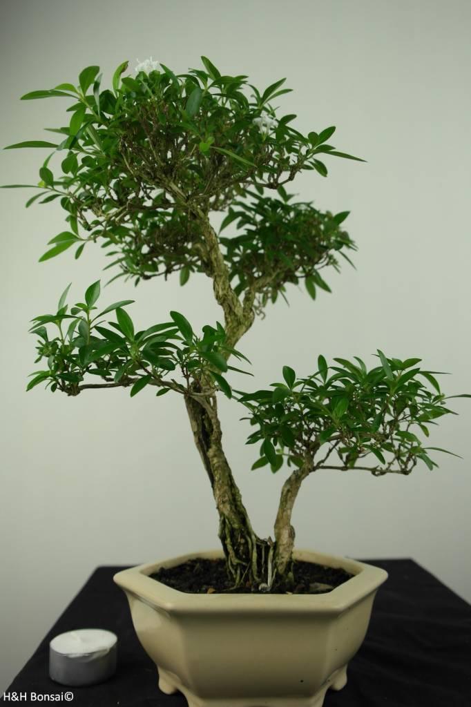 Bonsai Junischnee, Serissa foetida, nr. 7217