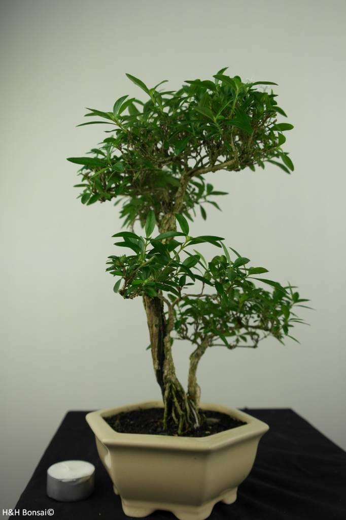 Bonsai Snow Rose, Serissa foetida, no. 7217