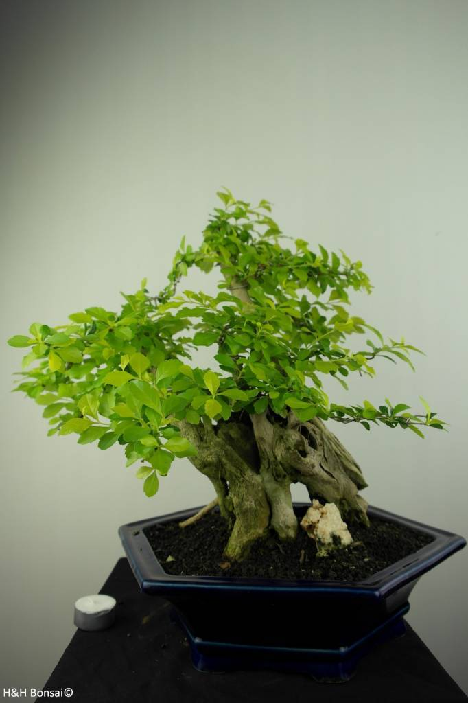 Bonsai Duranta, no. 7218