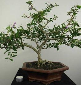 Bonsai Grewia sp., no. 7233