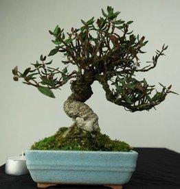 Bonsai Shohin Trachelospermum, no. 7237