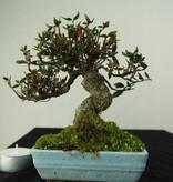 Bonsai Shohin Sternjasmin, Trachelospermum asiaticum, nr. 7237