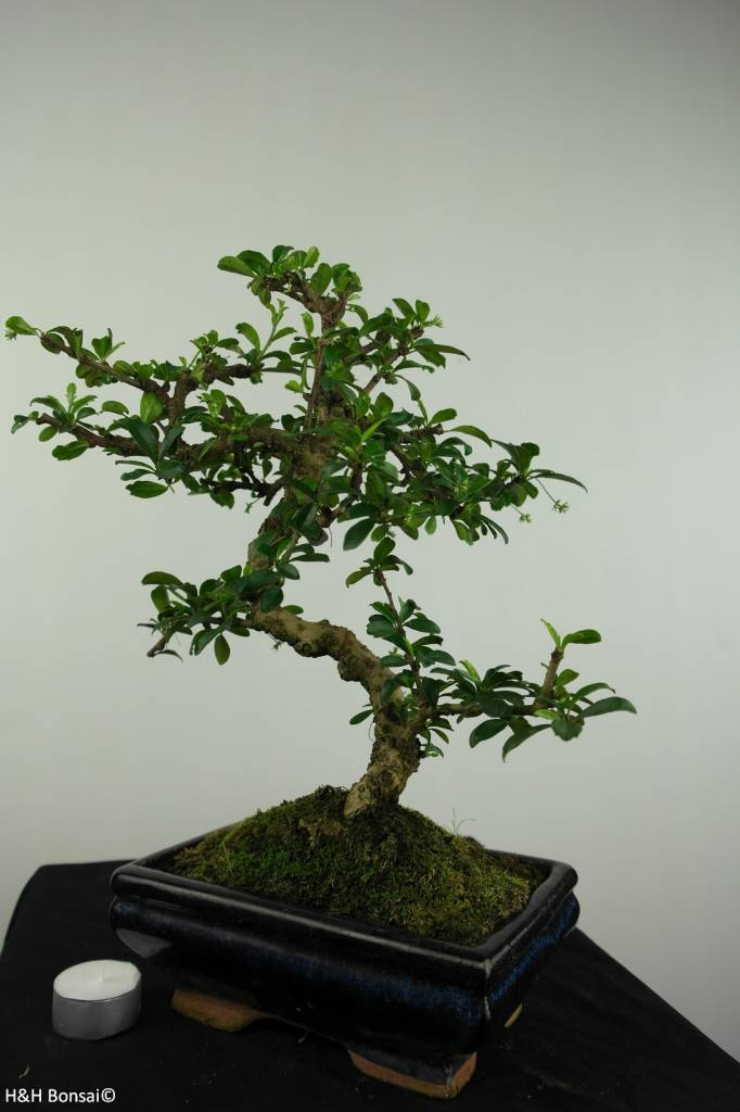 Bonsai Fukien Tea, Carmona macrophylla, no. 7239