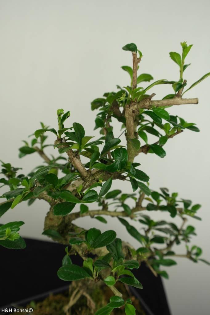 Bonsai Fukientee, Carmona macrophylla, nr. 7241