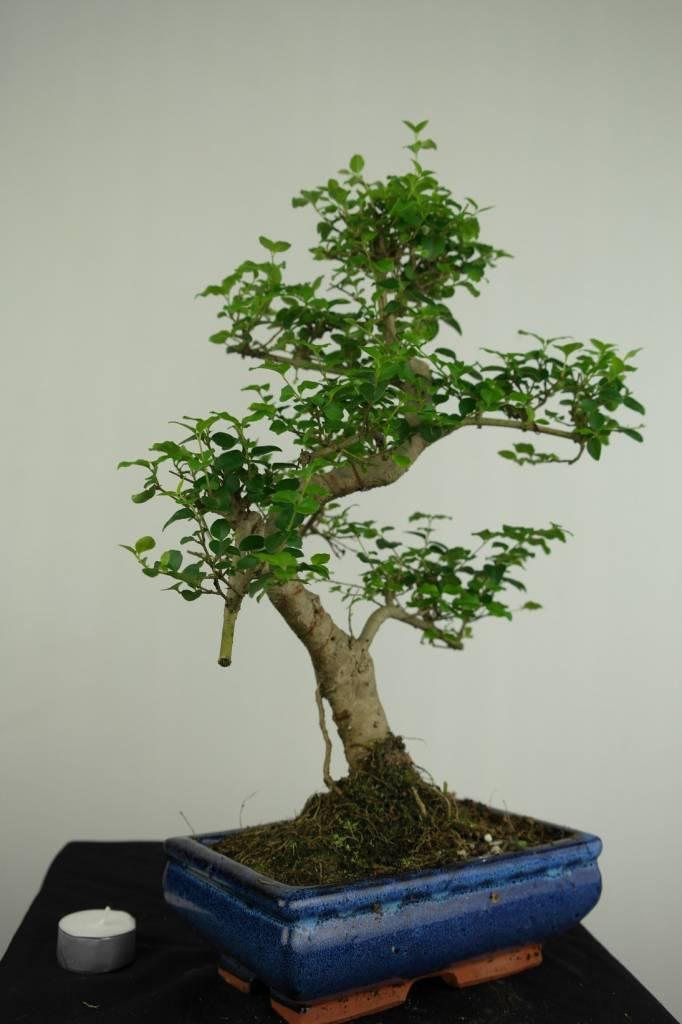 Bonsai Ligustrum nitida, nr. 7248