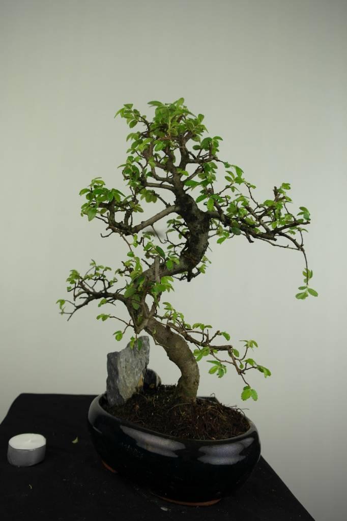 Bonsai Chin. Ulme mit Stein, Ulmus, nr. 7254