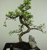 Bonsai Chinese Elm with rock, Ulmus, no. 7254
