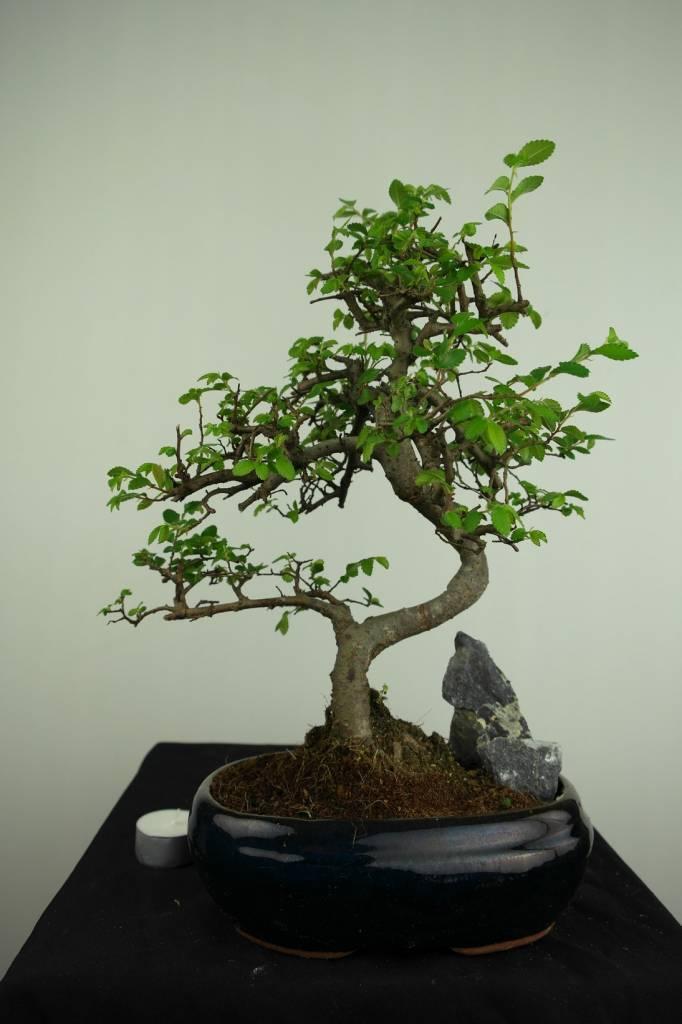 Bonsai Chin. Ulme mit Stein, Ulmus, nr. 7255