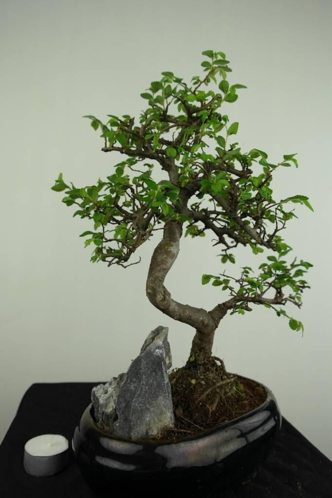 Bonsai Chinese Elm with rock, Ulmus, no. 7255