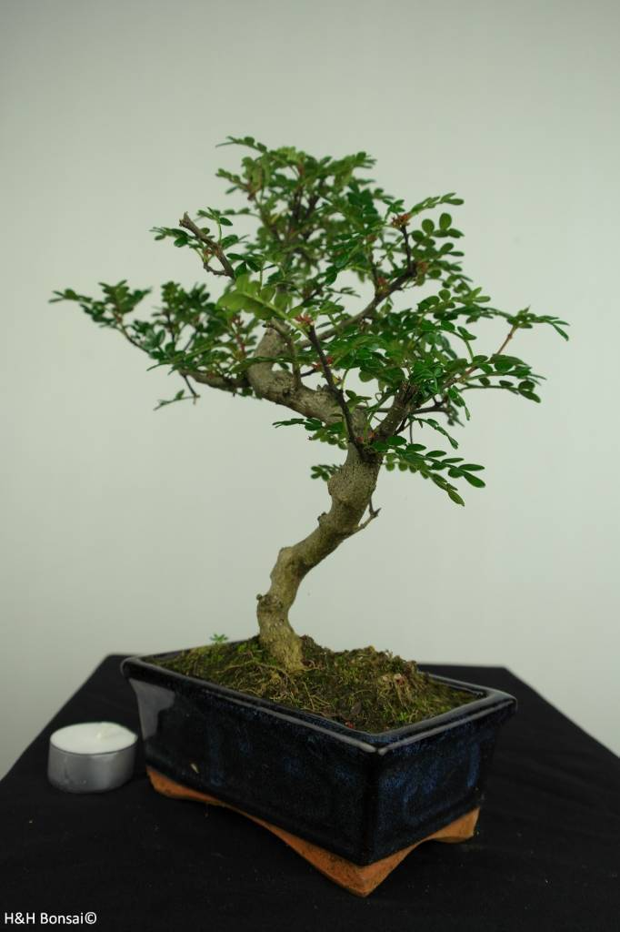 Bonsai Japanese Pepper,Zanthoxylum piperitum, no. 7269