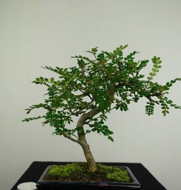 Bonsai Pfefferbaum, Zanthoxylum piperitum, nr. 7270