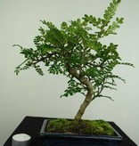 Bonsai Japanese Pepper, Zanthoxylum piperitum, no. 7270