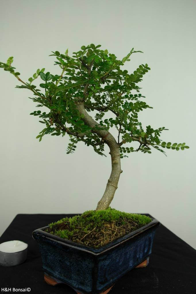 Bonsai Pfefferbaum, Zanthoxylum piperitum, nr. 7271