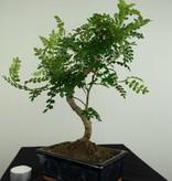 Bonsai Pfefferbaum, Zanthoxylum piperitum, nr. 7272