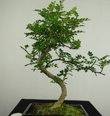 Bonsai Japanese Pepper, Zanthoxylum piperitum, no. 7273
