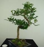 Bonsai Japanese Pepper,Zanthoxylum piperitum, no. 7274