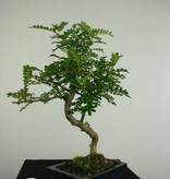 Bonsai Japanese Pepper,Zanthoxylum piperitum, no. 7275