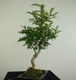 Bonsai Pfefferbaum, Zanthoxylum piperitum, nr. 7275